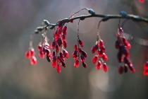 Berberys zwyczajny (Berberis vulgaris L.)