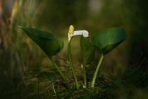 Czermień błotna (Calla palustris)