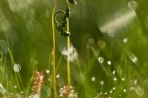 Rosidzka długolistna (Drosera anglica Huds.)
