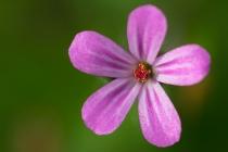 Bodziszek cuchnący (Geranium robertianum L.)