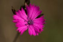 Goździk kartuzek (Dianthus carthusianorum)