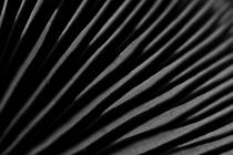 Hymenofor blaszkowy