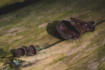 Uszak bzowy (Hinerola auricula)