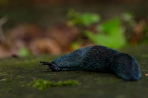 Pomrów błękitny (Bielzia coerulans)