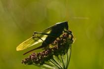 Pasikonik zielony (Tettigoria viridissima)