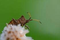 Wtyk straszyk (Coreus marginatus)