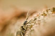 Rębacz szary (Rhagium mordax)