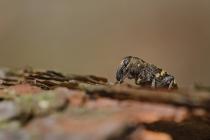 Szczeliniak sosnowiec (Hylobius abietis)