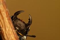 Ciołek matowy (Dorcus parallelipipedus)