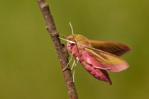 Zmrocznik gładysz (Deilephila elpenor)
