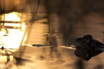 Żaba trawna (Rana temporaria)
