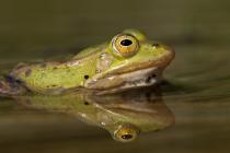 Żaba (Rana sp.)