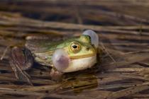 Żaba jeziorkowa (Pelophylax lessonae