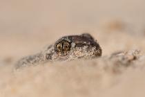 Grzebiuszka ziemna, huczek (Pelobates fuscus)