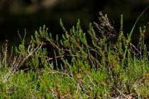 Bażyna czarna (Empetrum nigrum L.)