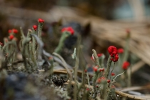 Chrobotek (Cladonia)